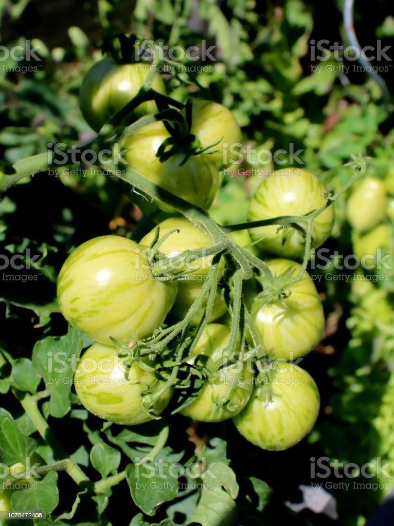 Reihe von Unreife grüne gestreifte Tomaten – Foto