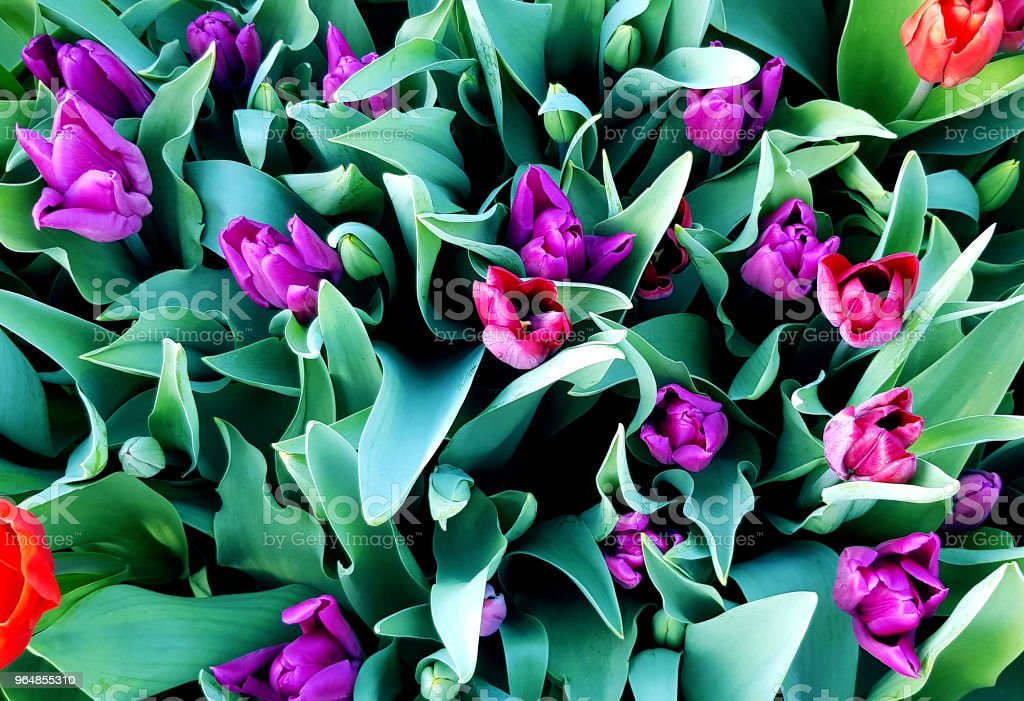 Bunch of violet and red beautiful holland tulips blooming in the spring garden. royalty-free stock photo