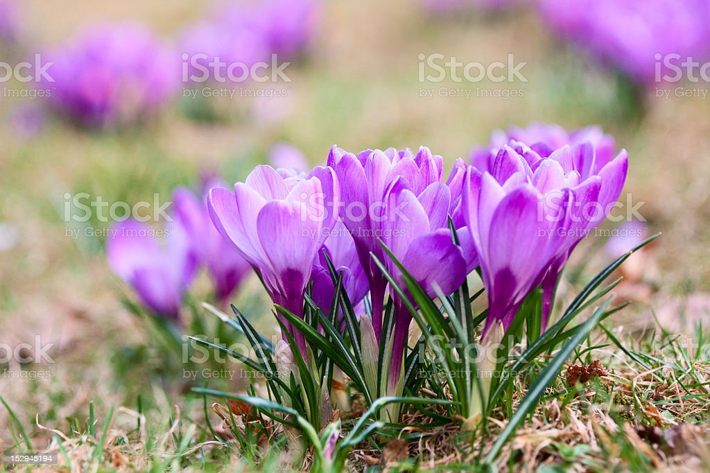 Bunch of violet crocuses royalty-free stock photo