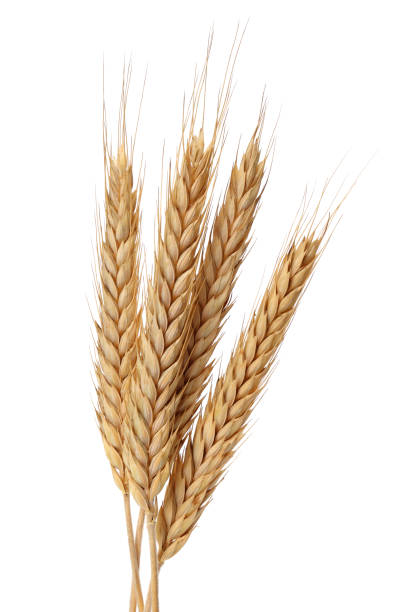 Bunch of wheat ears isolated on white Bunch of wheat ears isolated on white background wheat stock pictures, royalty-free photos & images