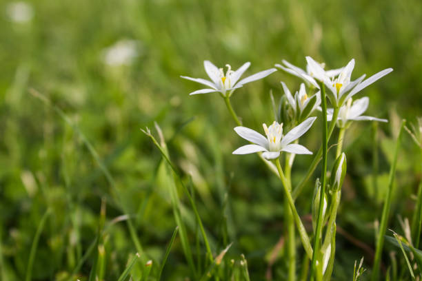 Bunch of white flowers on a wild green meadow. Ornithogalum umbellatum. stock photo
