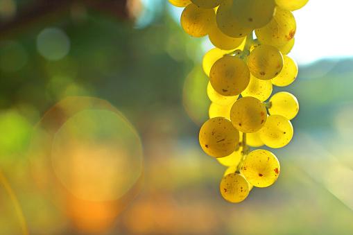 Bunch of white grape seeds light