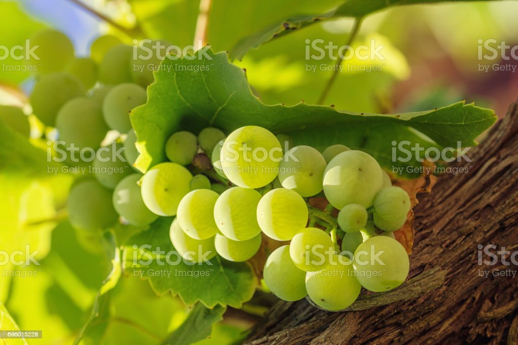 bunch of white grape with leafs on background stock photo