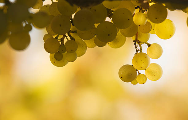 Bunch of white grapes against a yellow and white background stock photo