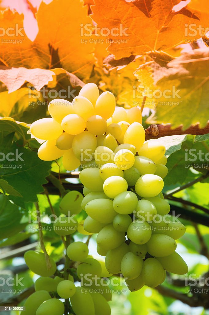 Bunch OF White Grapes In Vineyard stock photo