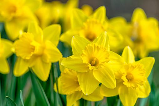 Bunch of yellow daffodils