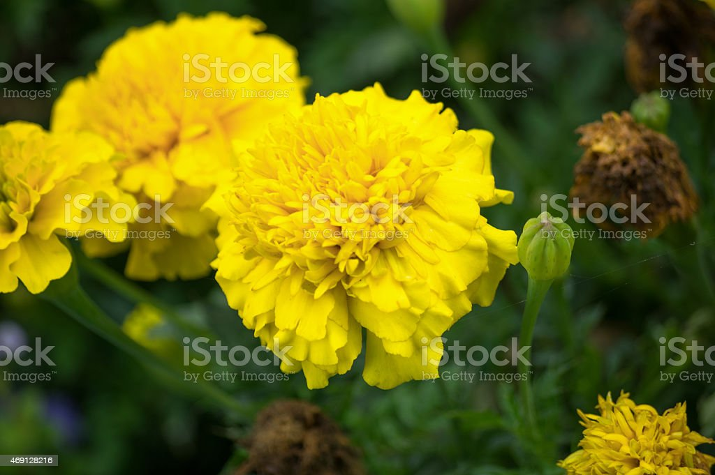 Bunch of yellow flowers in the grass and a bud stock photo