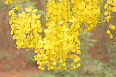 Bunch of yellow golden shower Cassia fistula / Indian laburnum state flower of Kerala South India. Thailand national flower. Blooms on spring.