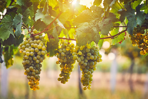 Bunch of yellow grapes in the vineyard