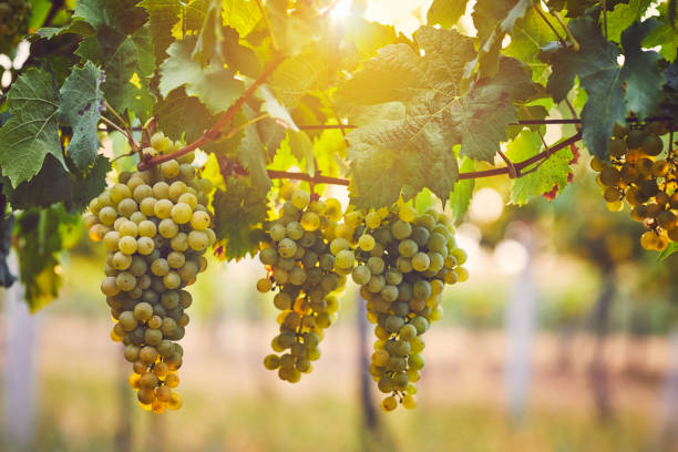 Bunch of yellow grapes in the vineyard stock photo
