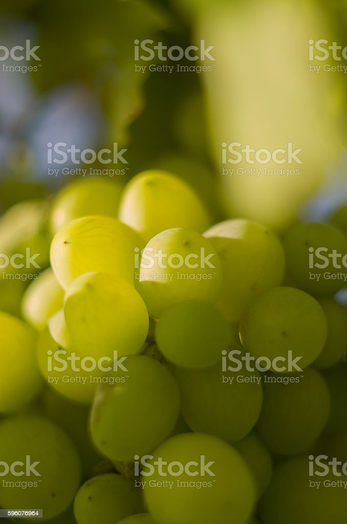 Bunch of yellow grapes royalty-free stock photo