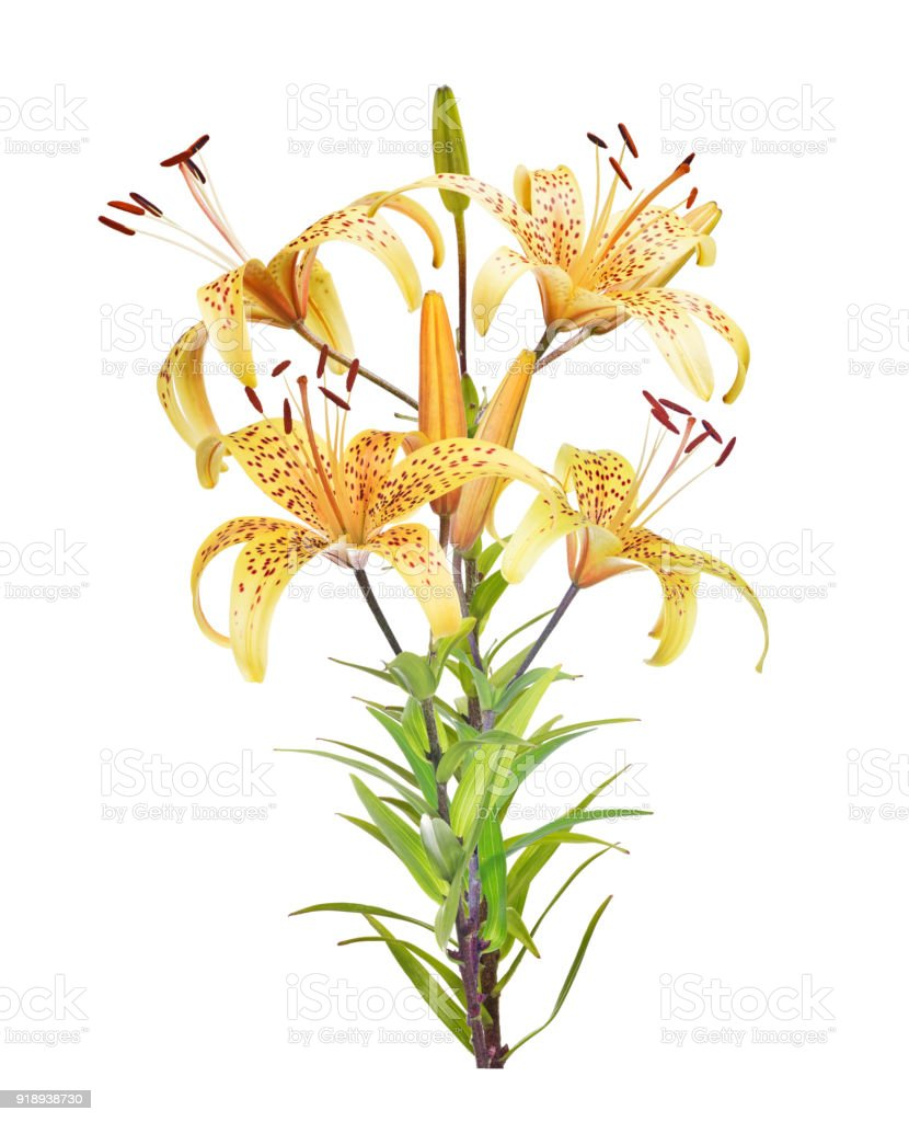 Bunch Of Yellow Lily Flowers Isolated On White Stock Photo More