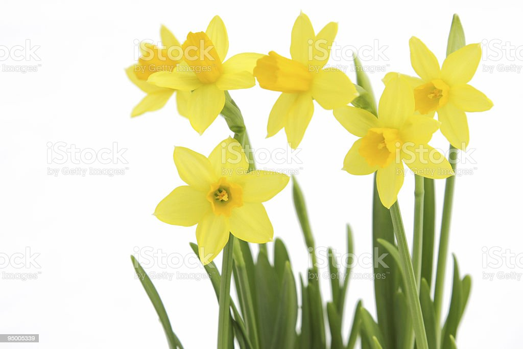 Bunch of yellow spring daffodils stock photo
