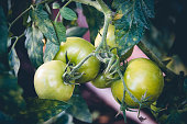 Bunch of young green tomatoes on branch in greenhouse on a farm. Growing vegetables for salad.
