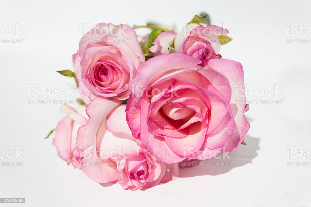 bunch pink roses on white background stock photo