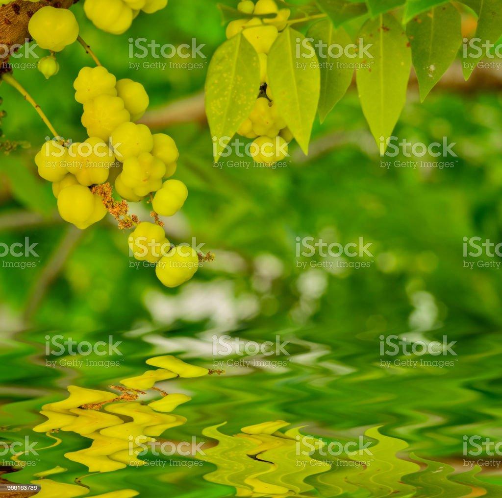 De ster kruisbes bos op boom - Royalty-free Biologisch Stockfoto