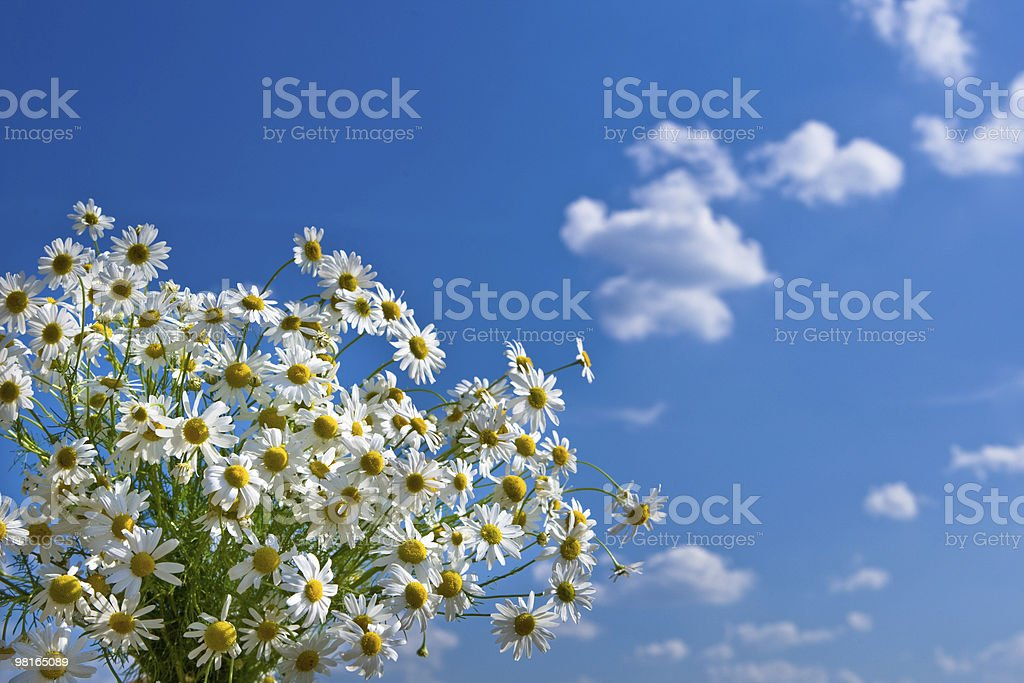 Bunch white camomile on background of blue sky royalty-free stock photo