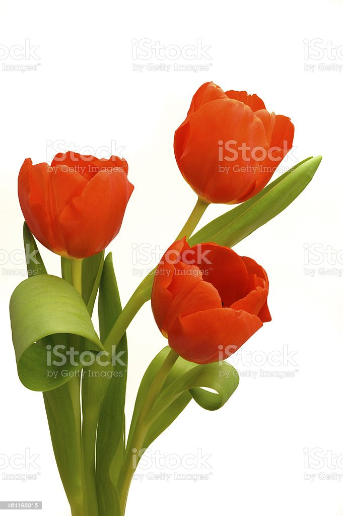 bunch with three red tulips royalty-free stock photo