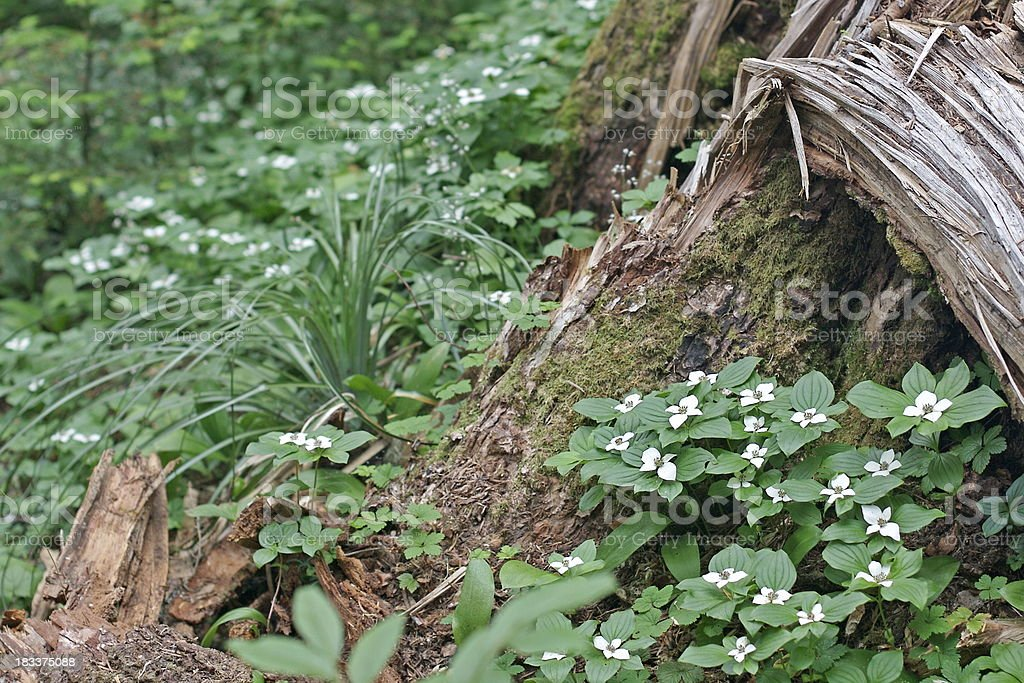Bunchberry flowers stock photo