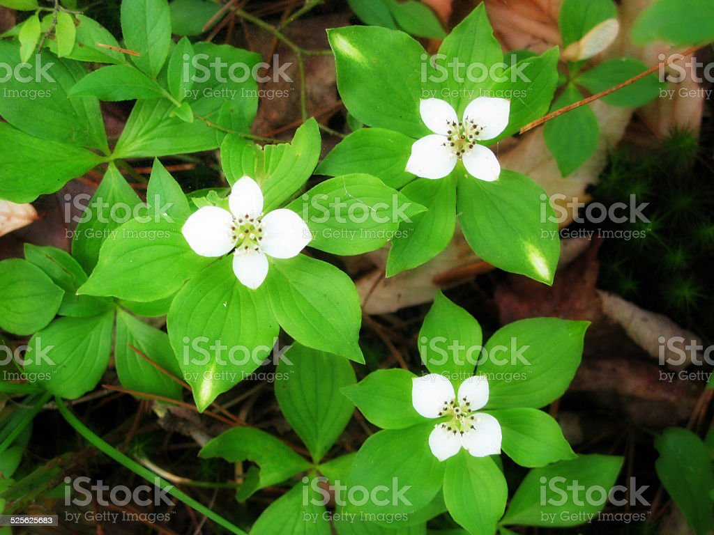 Bunchberry Four Petal White Flower Forest Ground Cover Stock Photo