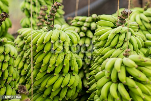 Many bunches of bananas are hanging on strings on a farm in Hawaii as they ripen to be sold.