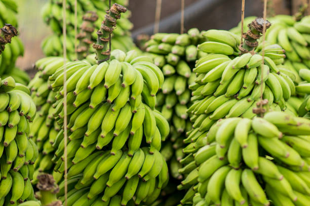 Bunches of Bananas stock photo
