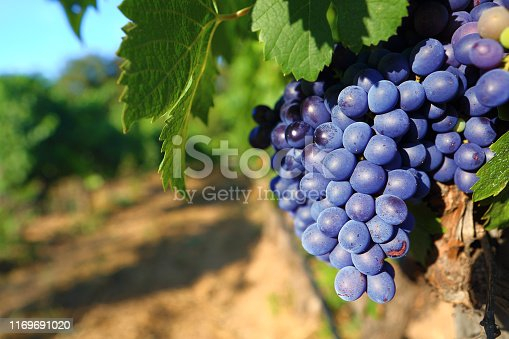 istock Bunches of black grape cep and leaves 1169691020