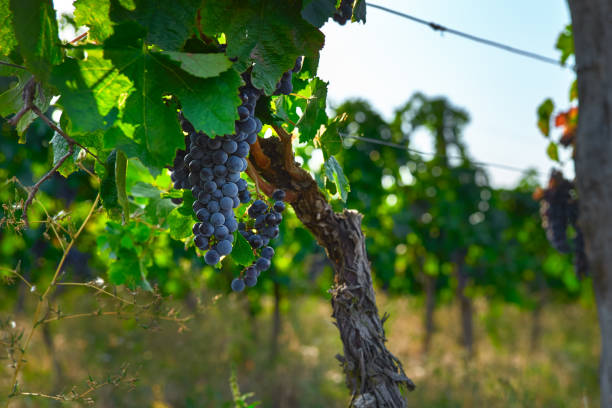 bunches of black grapes on vine, bright blurred background, copy space. - moldova stock pictures, royalty-free photos & images