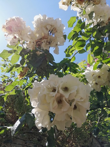 Bunches of blooming white roses