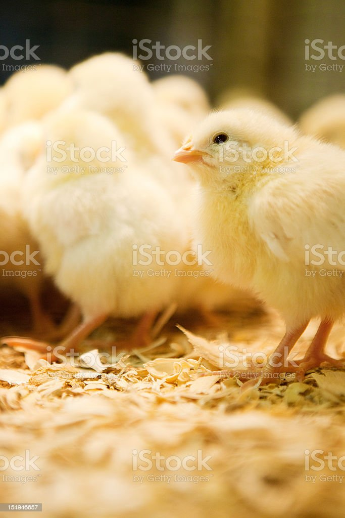 Bunches of chicks royalty-free stock photo