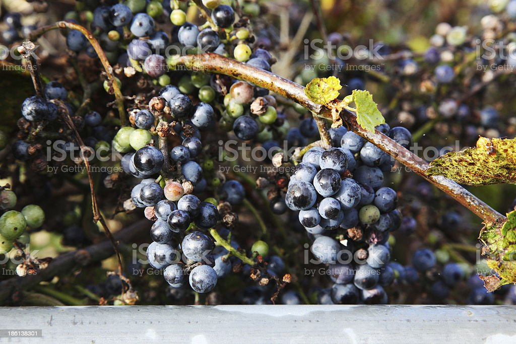 Bunches of Concord Grapes on the vine royalty-free stock photo