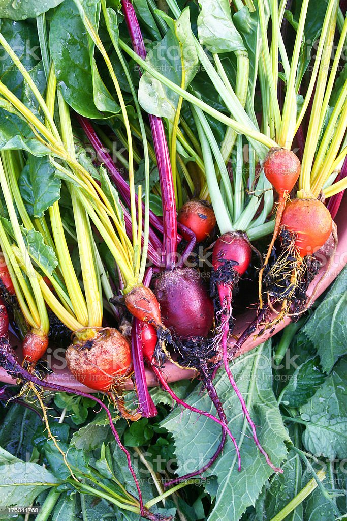 Bunches of Fresh Beets stock photo