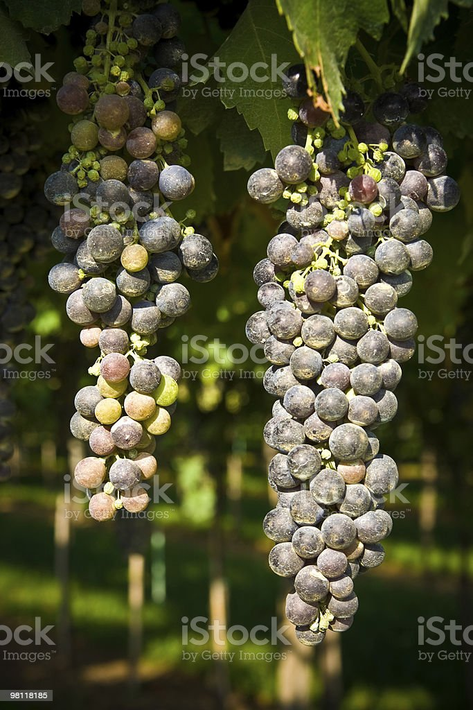 Bunches of grape royalty-free stock photo