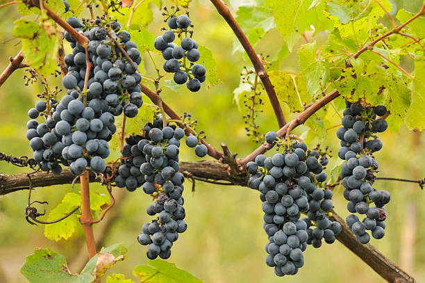 Bunches of grapes before harvest stock photo