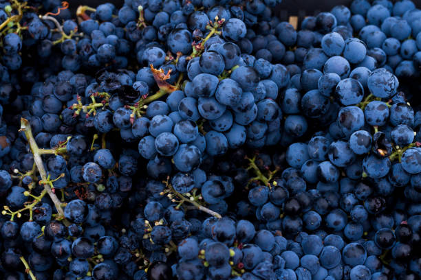 Grappes de raisin vendanges migratory workers stock pictures, royalty-free photos & images