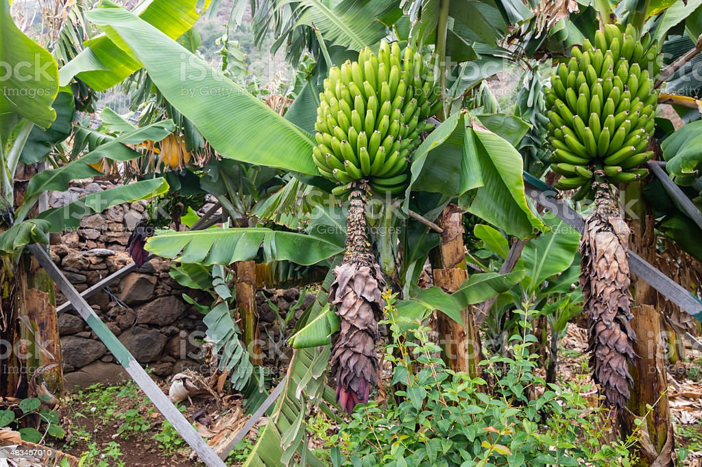 Bunches of green bananas growing on a trees stock photo