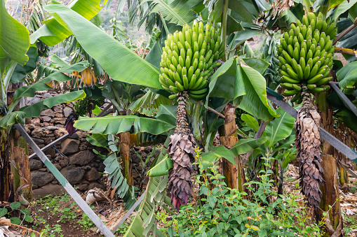 Bunches Of Green Bananas Growing On A Trees Stock Photo ...