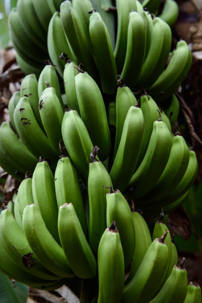 Die Trauben für grüne Bananen – Foto
