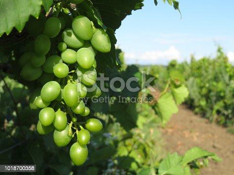 Vine on a summer plantation, winemaking concept