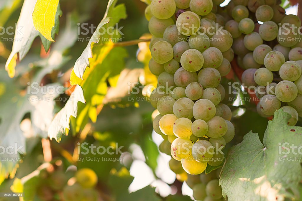 Bunches of green wine grapes growing in vineyard foto royalty-free