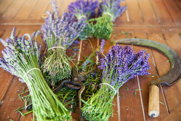 Bunches of lavender - series stock photo
