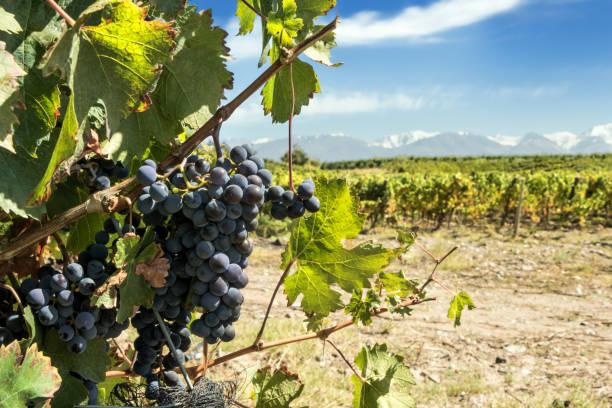 Bunches of malbec grapes in the vineyard, Tupungato, Mendoza, Argentina. stock photo