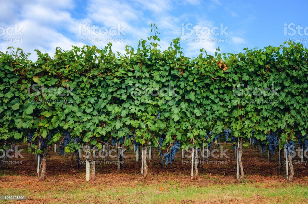 bunches of nebbiolo grape in the vineyards of Barolo (Langhe wine district, Italy) - foto stock