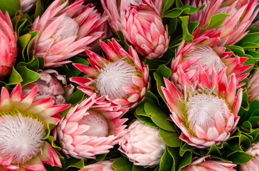 Bunches of King Proteas pictured from above.