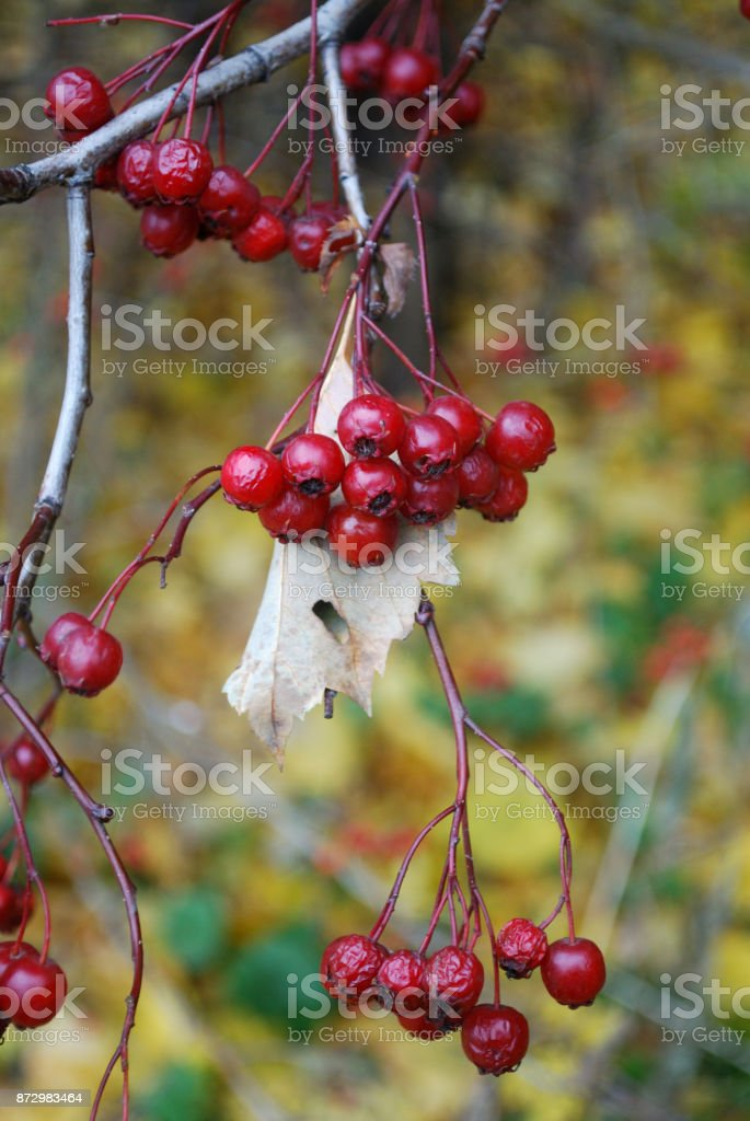 Bunches of red berries on a stem on blurred background macro view. stock photo