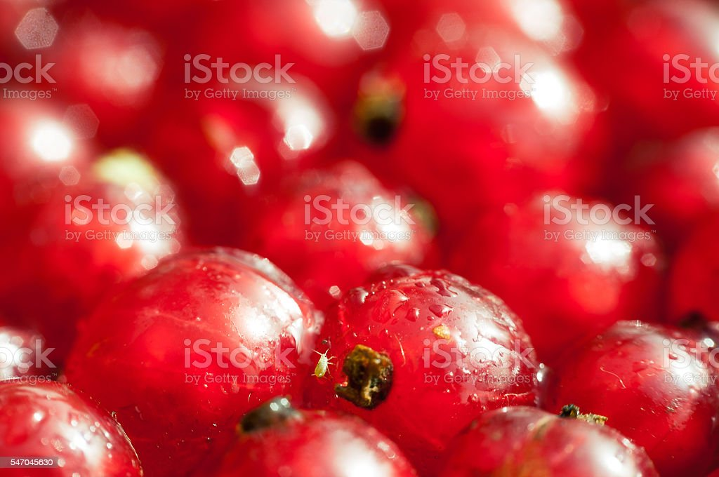 Bunches of red currant close up stock photo