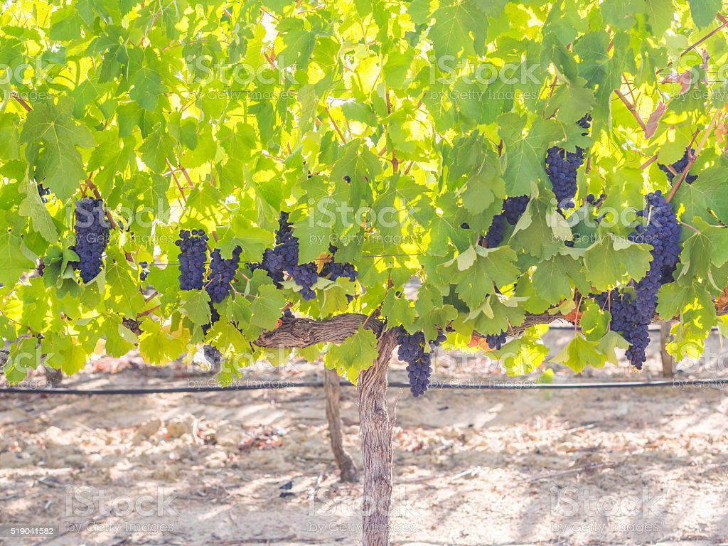 Bunches of red grapes in vineyard in Stellenbosch stock photo