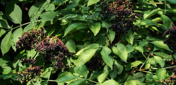 Bunches of ripe black elder in green foliage (Sambucus nigra) stock photo
