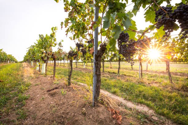 die trauben reifen trauben wachsen in weinberg bei sonnenuntergang. fast reif für die ernte. - burgenland stock-fotos und bilder