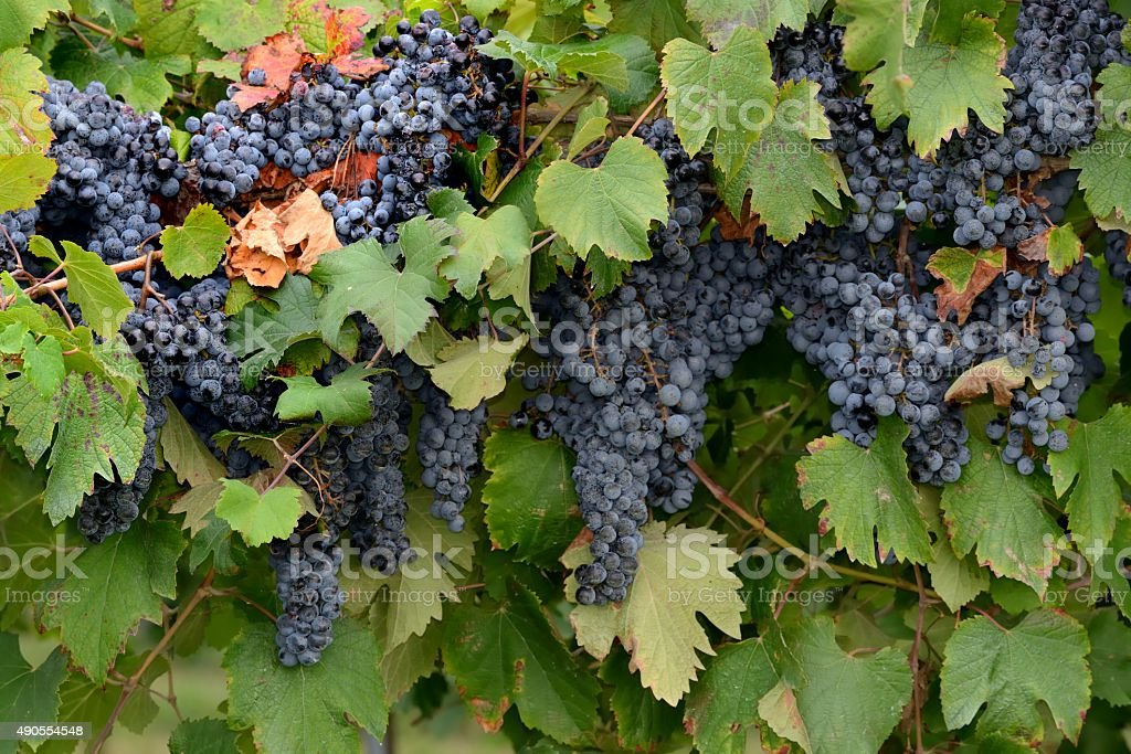 bunches of ripe grapes stock photo